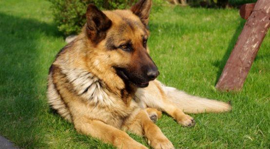 Leishmaniosis en perros